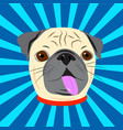 Face of cute pug with collar on blue starburst vector image