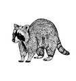 hand drawn raccoon sketch vector image