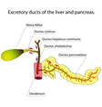 Pancreas and gallbladder vector image vector image