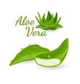 Aloe vera plant and its parts vector image
