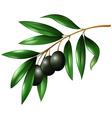 Black olives on the branch vector image
