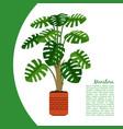 monstera plant in pot banner vector image