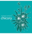 some flowers and buds of chicory vector image