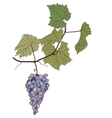 grapes with leaves drawing vector image vector image