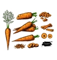 Carrot hand drawn set vector image