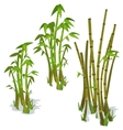Bamboo on white background isolated vector image