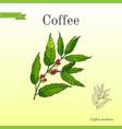 coffee tree branch vector image