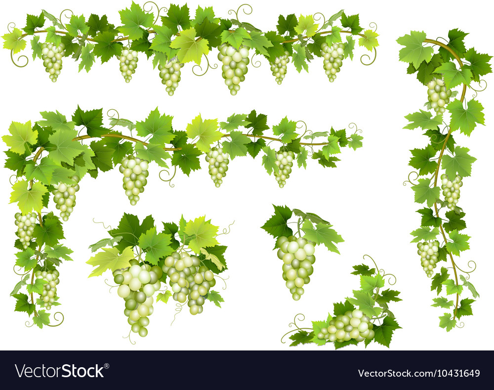 Set of bunches white grapes vector