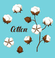set of cotton flower buds bolls and branch vector image