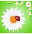 ladybag on camomile vector image