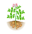 growing potatoes plant isolated on white vector image