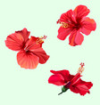 three red hibiscus flowers vector image