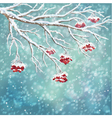 Winter snow covered rowanberry branch background vector image