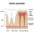 Anatomy of teeth vector image