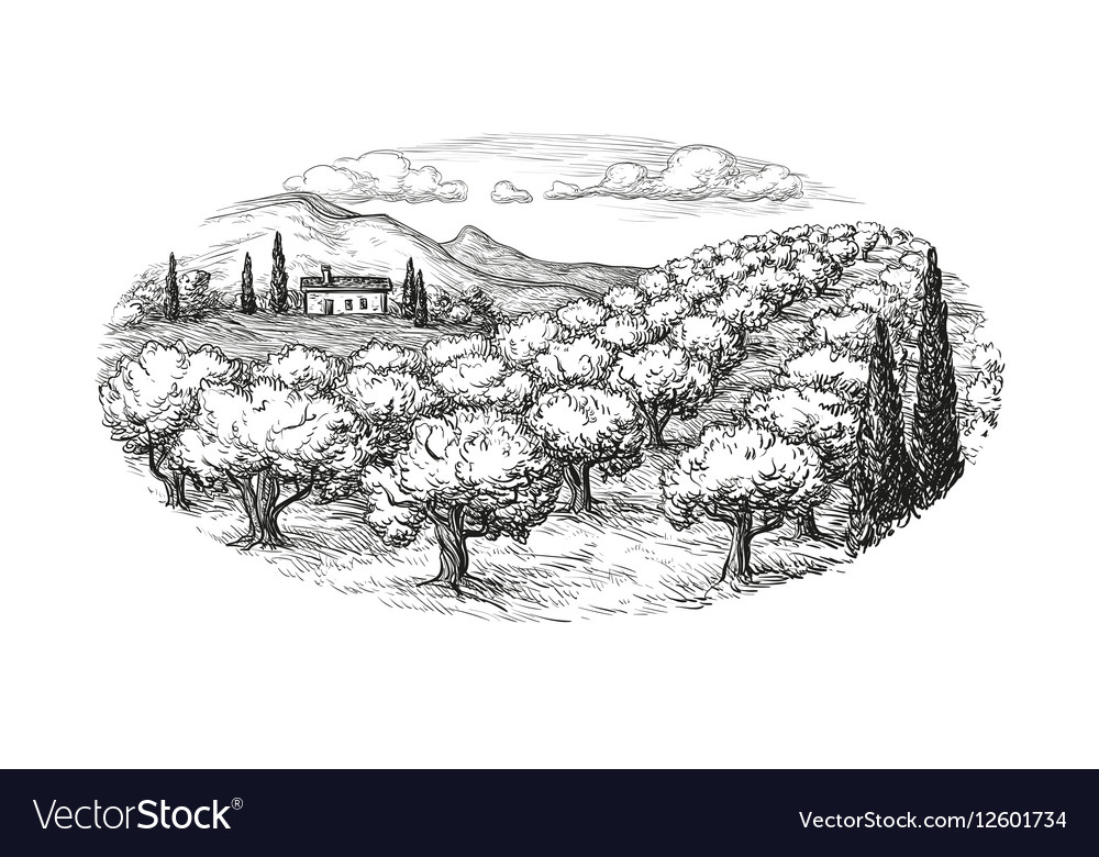 Olive grove landscape vector