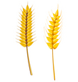 wheat and barley vector image vector image