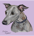 italian greyhound colorful hand drawing portrait vector image