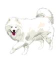 samoyed dog vector image vector image