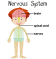Nervous system in human body vector image