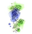 Grape branch on watercolor background vector image
