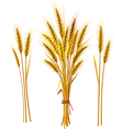 spike wheat vector image vector image