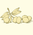 ripe olives with leaves vector image