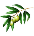 Green olives on the branch vector image