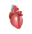 realistic human heart isolated on white background vector image