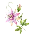 Watercolor passion flower vector image