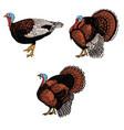 set of turkey isolated on white background design vector image
