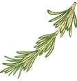fresh green rosemary vector image