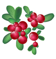 Cranberries vector image