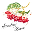 Rowanberry branch vector image