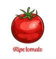 tomato vegetable sketch of organic natural veggies vector image
