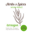 hand drawn tarragon vector image