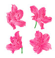 blossoms pink rhododendrons set three vector image