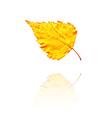 Birch leaf vector image