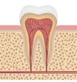 Healthy white tooth detailed anatomy vector image