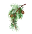 Watercolor coniferous branch with pine cones vector image