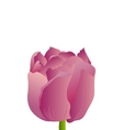 purple tulip vector image