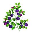 Close up of a blueberry branch isolated vector image vector image