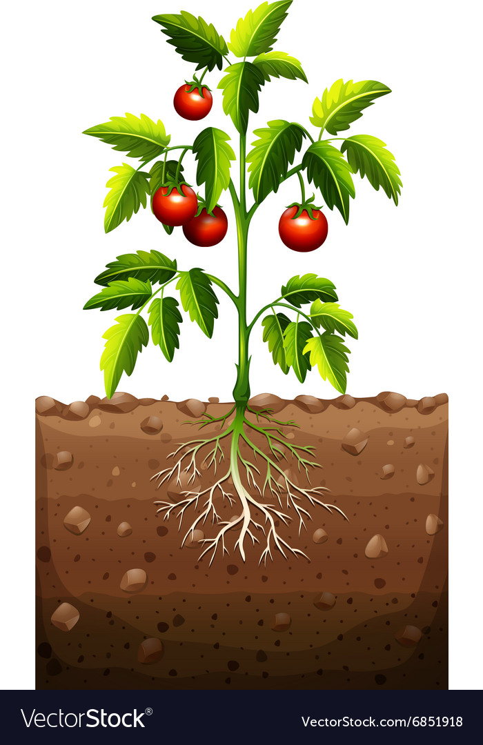 Tomatoes on the tree vector