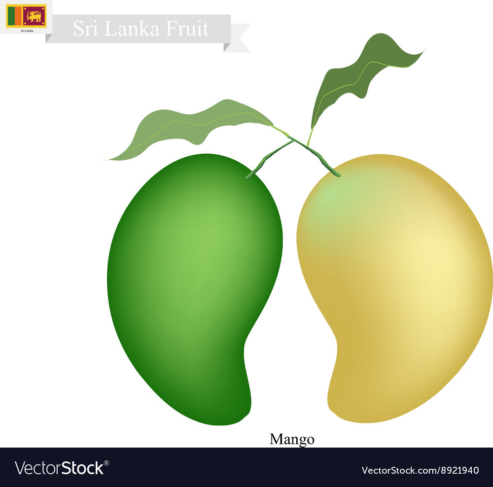 Fresh mango a famous fruit in sri lanka vector