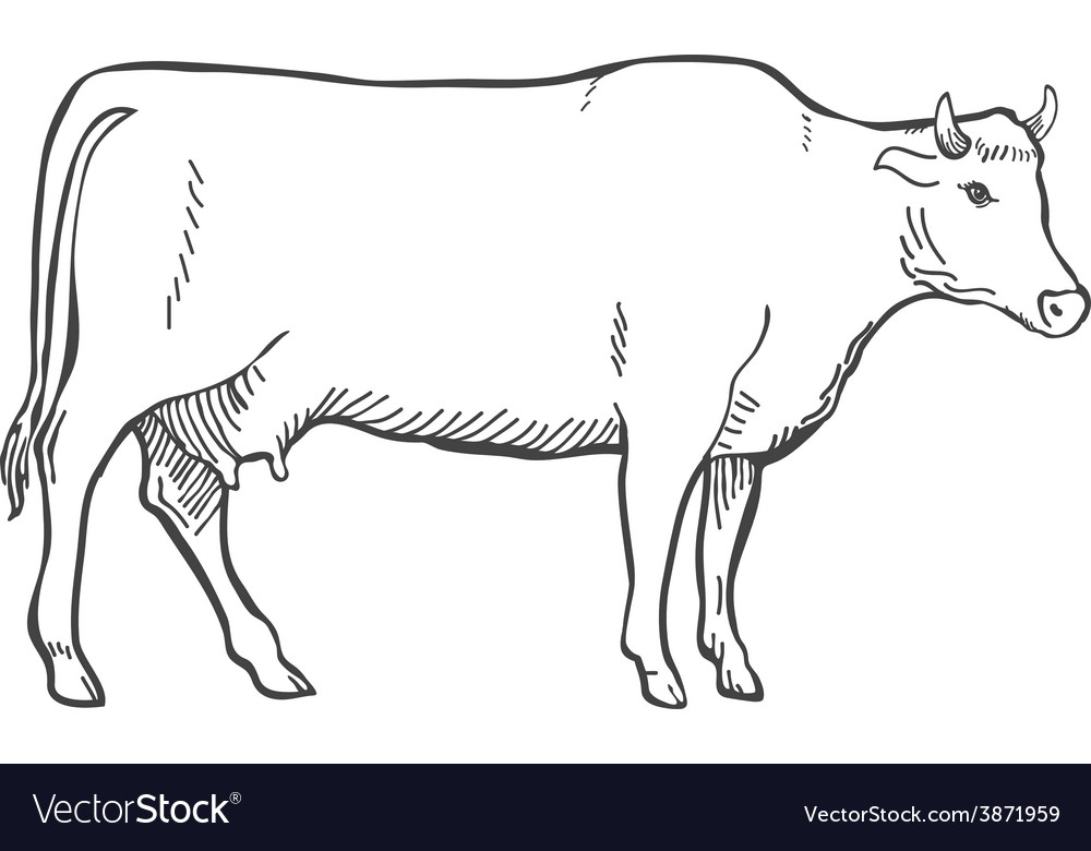 Hand draw cow outline vector