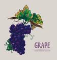 digital detailed color grape hand drawn vector image