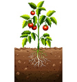 Tomatoes on the tree vector image