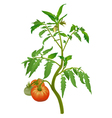 Tomato plant with flowers and fruits vector image