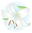 White lily on light blue background vector image