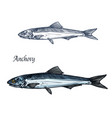 anchovy fish isolated sketch for seafood design vector image