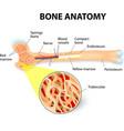 bone anatomy vector image vector image